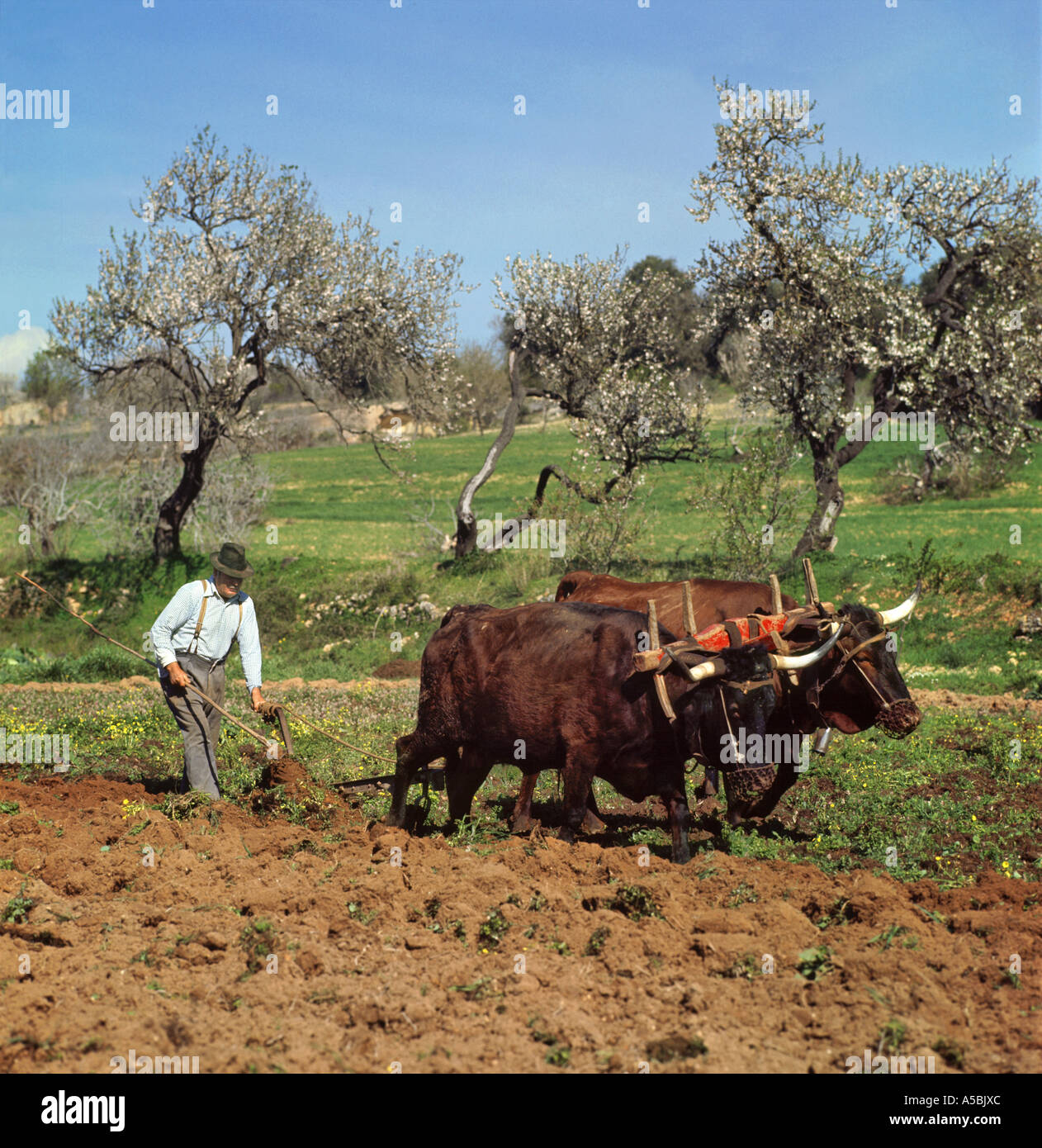 portugal the algarve farmer ploughing with oxen in the traditional manner near lagos