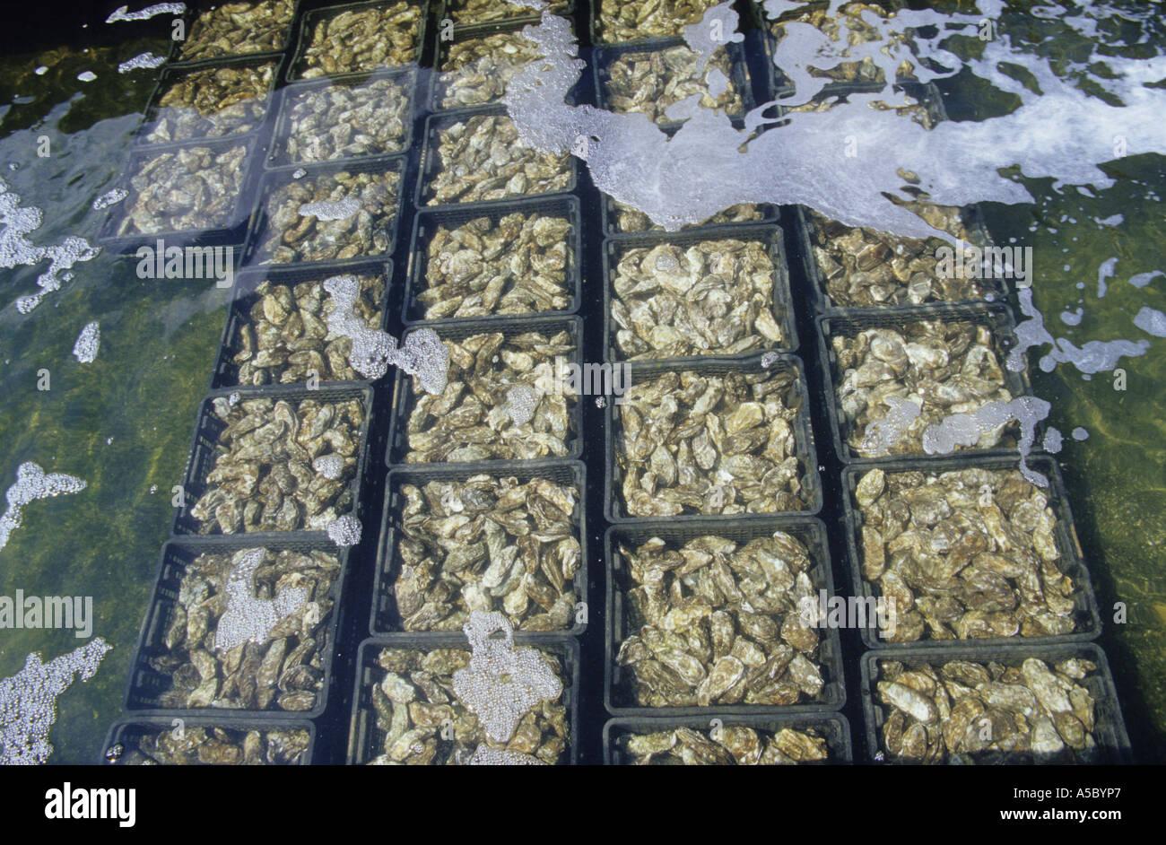 Yerseke Oysters Yeseke oyster farm Zeeland Netherlands Stock Roya