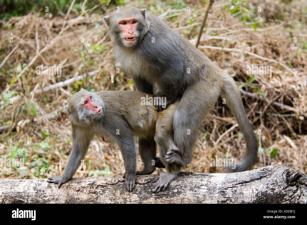 Image Gallery Monkeys Copulating