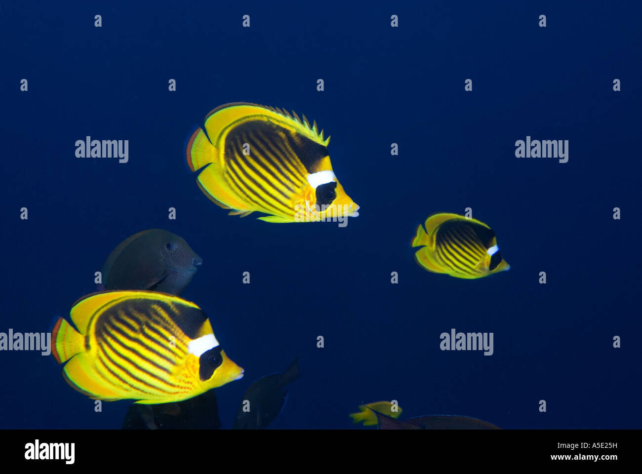 RACOON BUTTERFLYFISH butterfly H Butterfly Fish