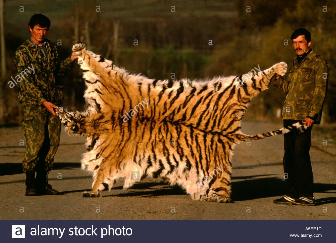 Siberian tigers poaching - photo#43