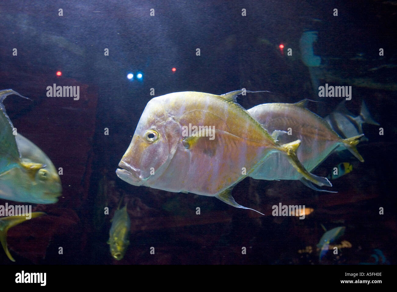 Big tropical fish in a giant tank las vegas casino nv for Tropical fish las vegas