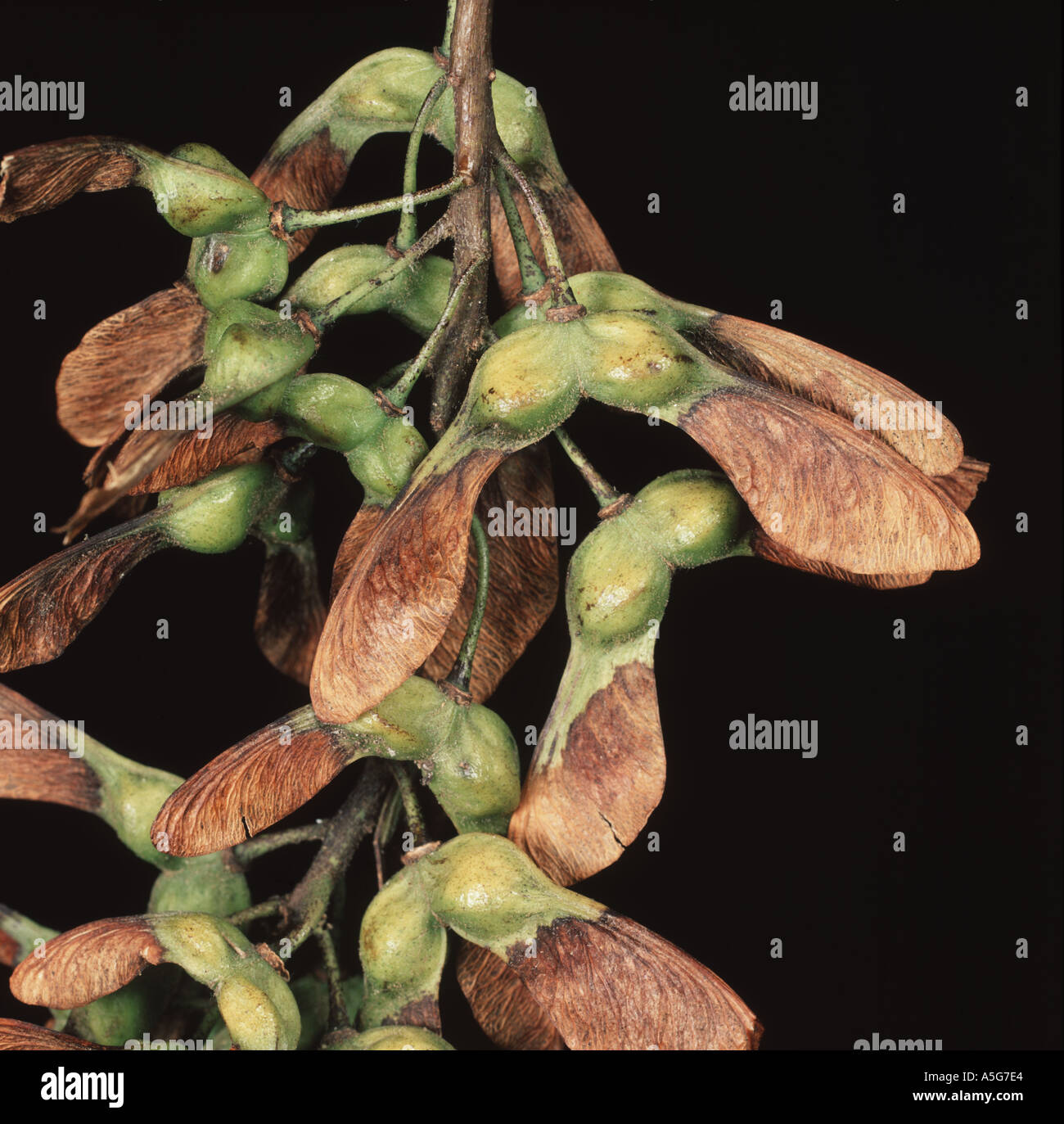 tree helicopter seeds with Stock Photo Seeds Of A Sycamore Tree Acer Pseudoplatanus With Wings For Seed Dispersal 2082787 on Propagation With Wind further File Maple seed pods Fcb981 besides Maple Copters Everywhere moreover 284 moreover Article6472909.