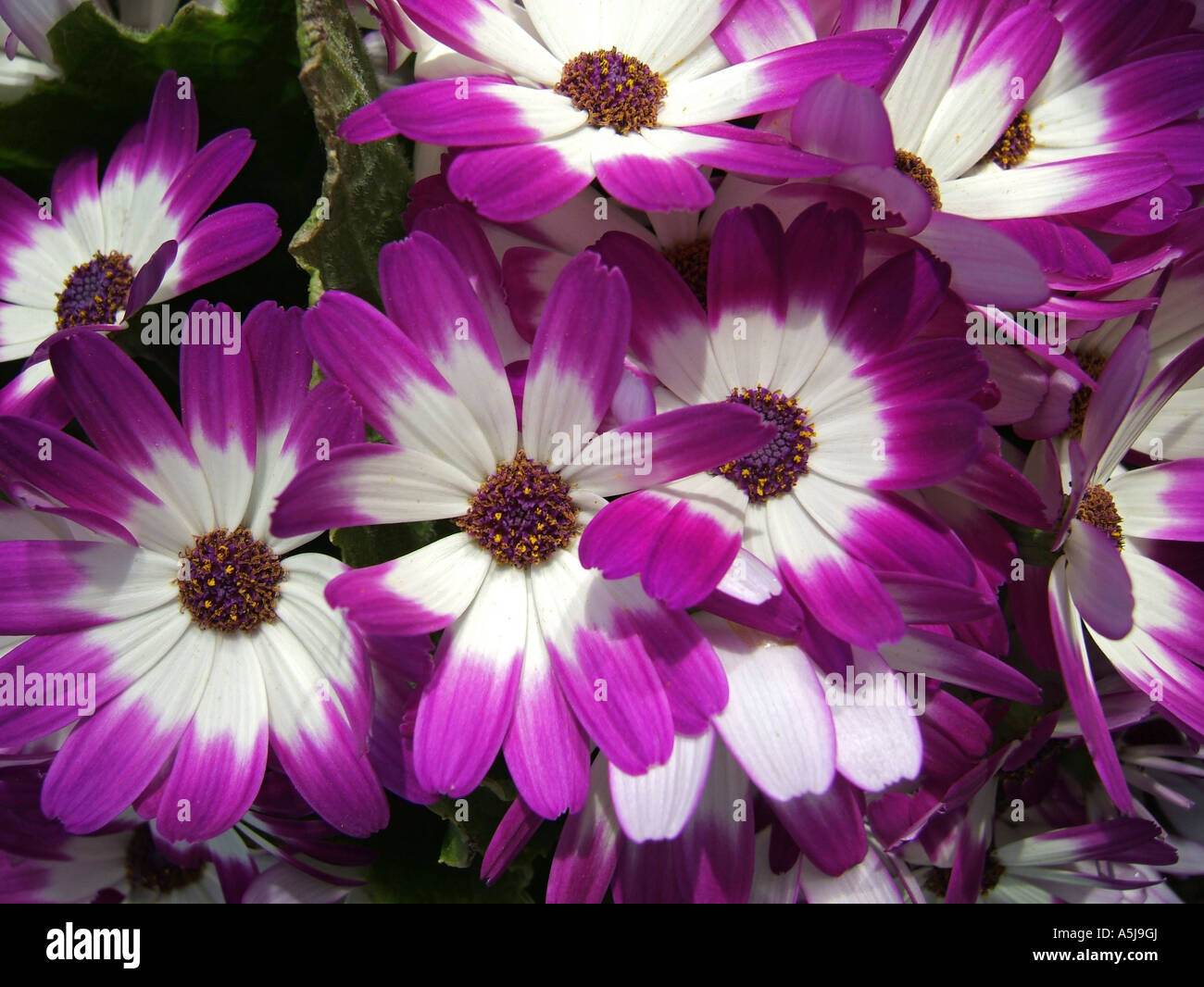 cineraria with purple and white flowers stock photo, royalty free, Natural flower