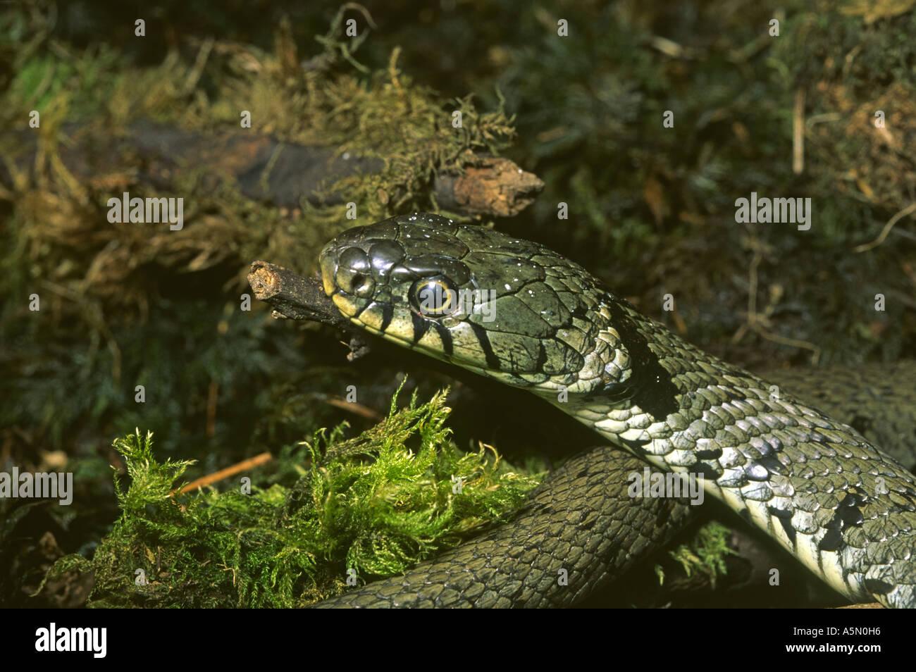 grass snake natrix natrix lake district uk stock photo royalty