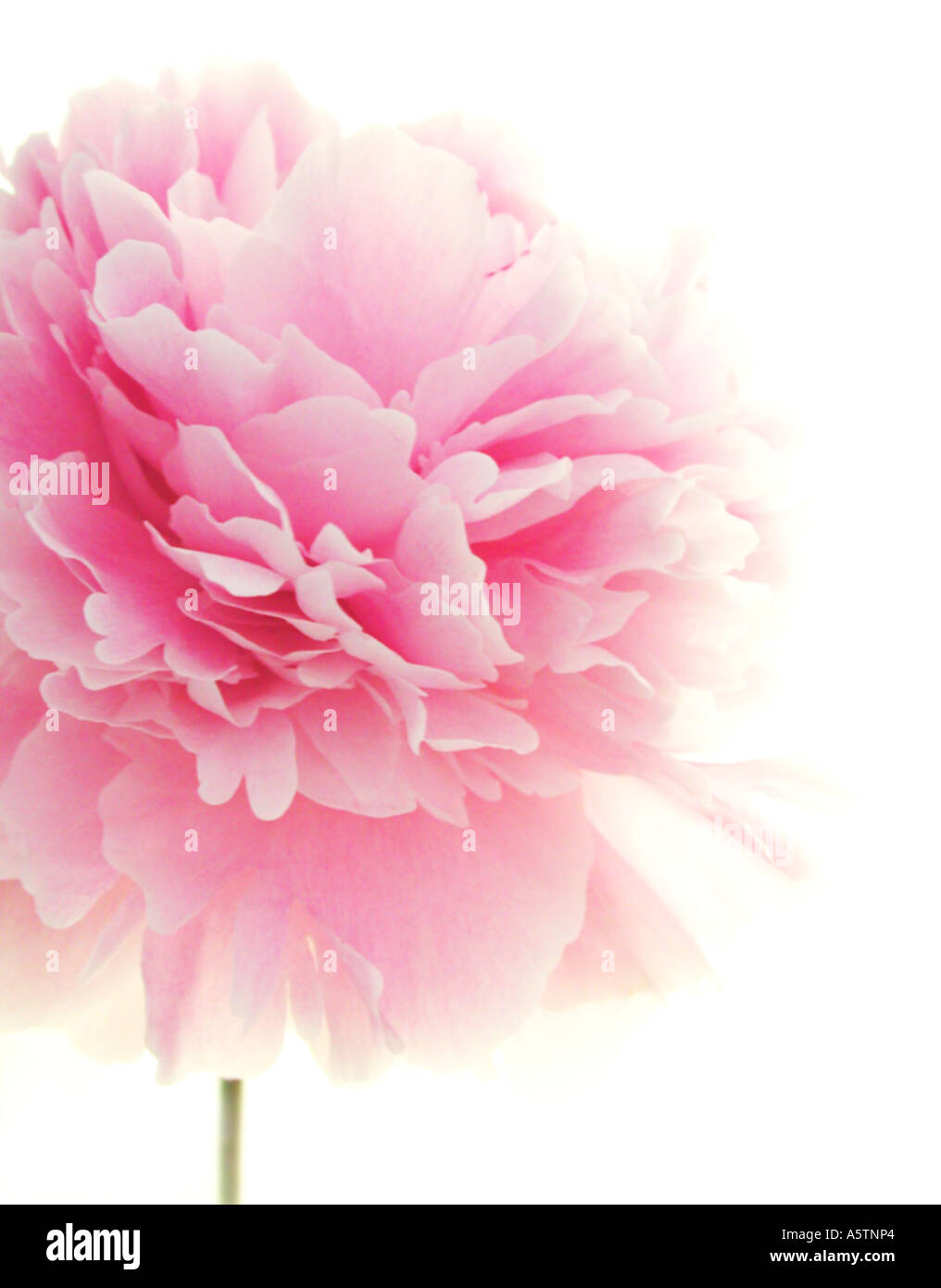 Beutiful a beutiful image of a blousy, pink peony flower stock photo