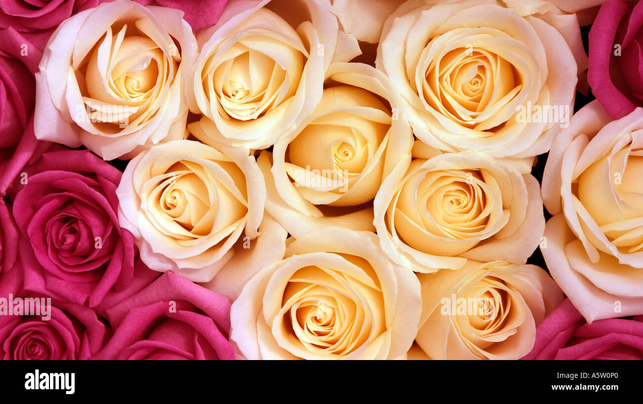 Beutiful full frame shot of beutiful roses stock photo, royalty free image