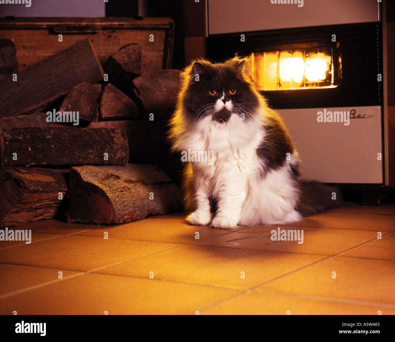 Persian cat in front of fireplace Stock Photo, Royalty Free Image ...