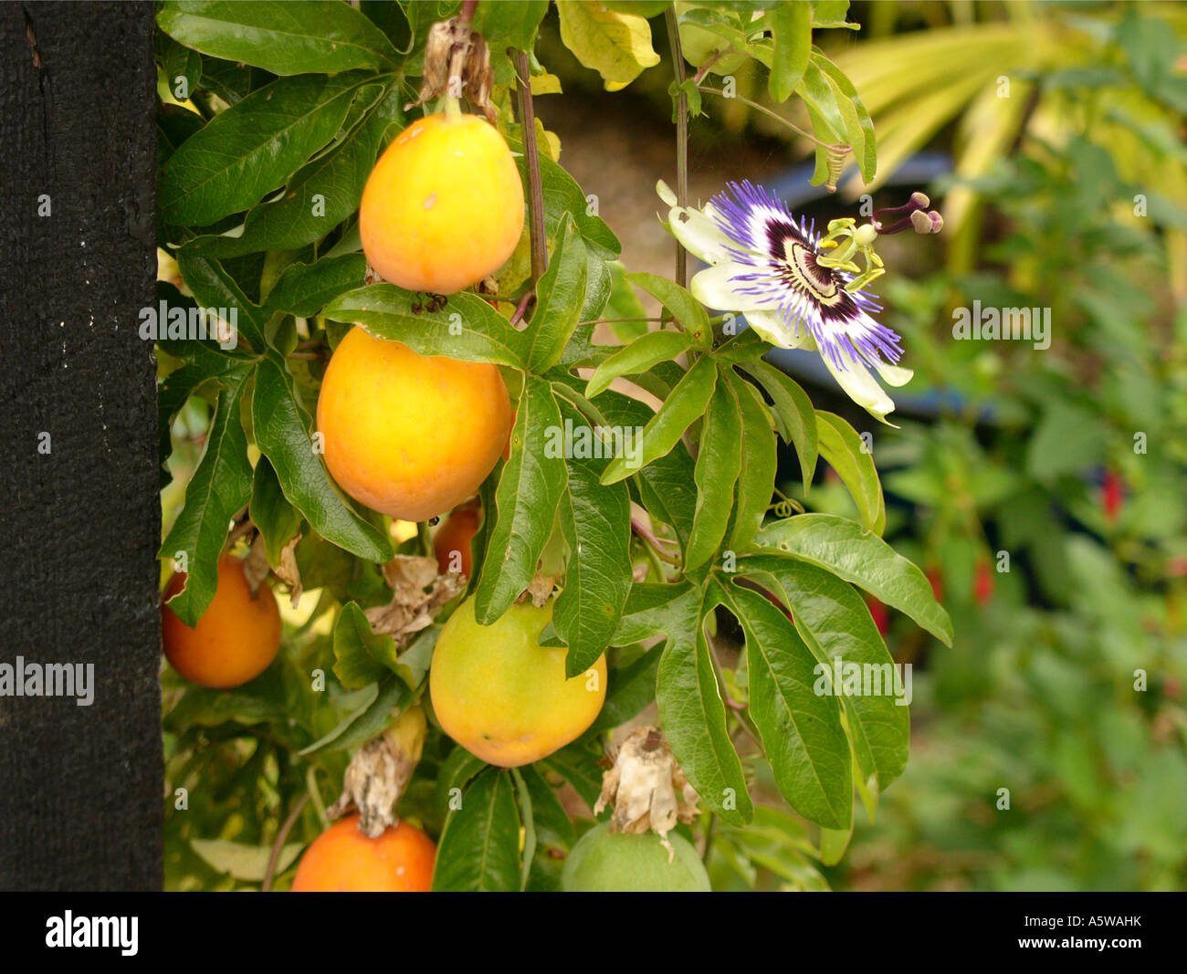 passion fruit flower is a pumpkin a fruit or vegetable
