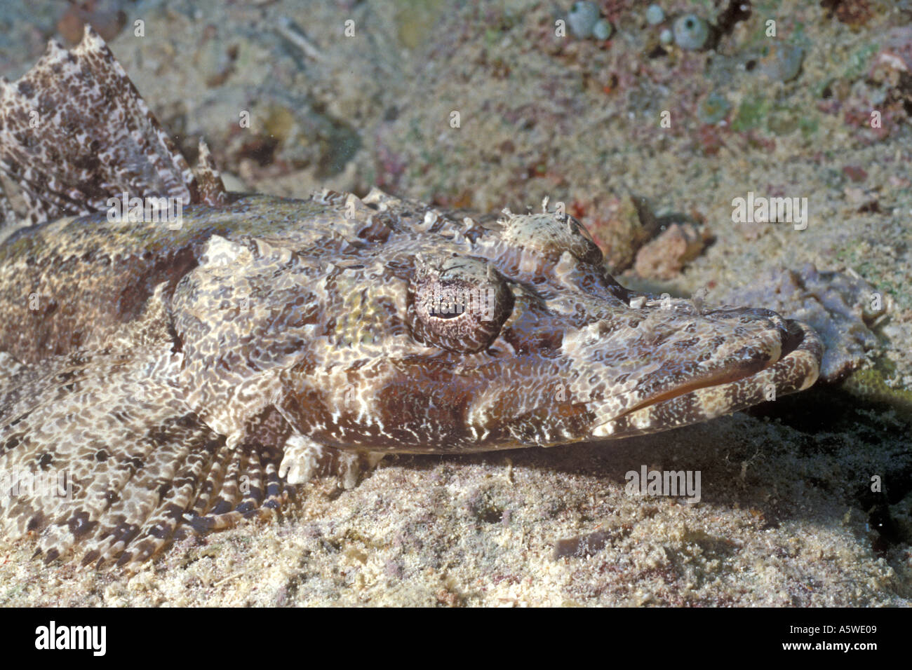 Giant Flathead Crocodile Fish Cymbacephalus beauforti ... - photo#30