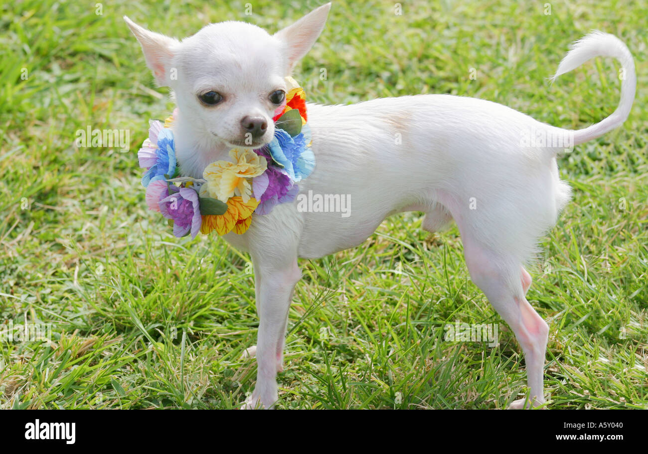 Tiny white chihuahua wearing a multi colored flower lei poses with stock photo tiny white chihuahua wearing a multi colored flower lei poses with curled tail outdoors in park on green grass dhlflorist Image collections
