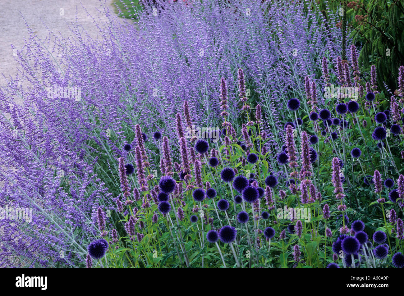 echinops veitch s blue perovskia blue spire stock photo. Black Bedroom Furniture Sets. Home Design Ideas
