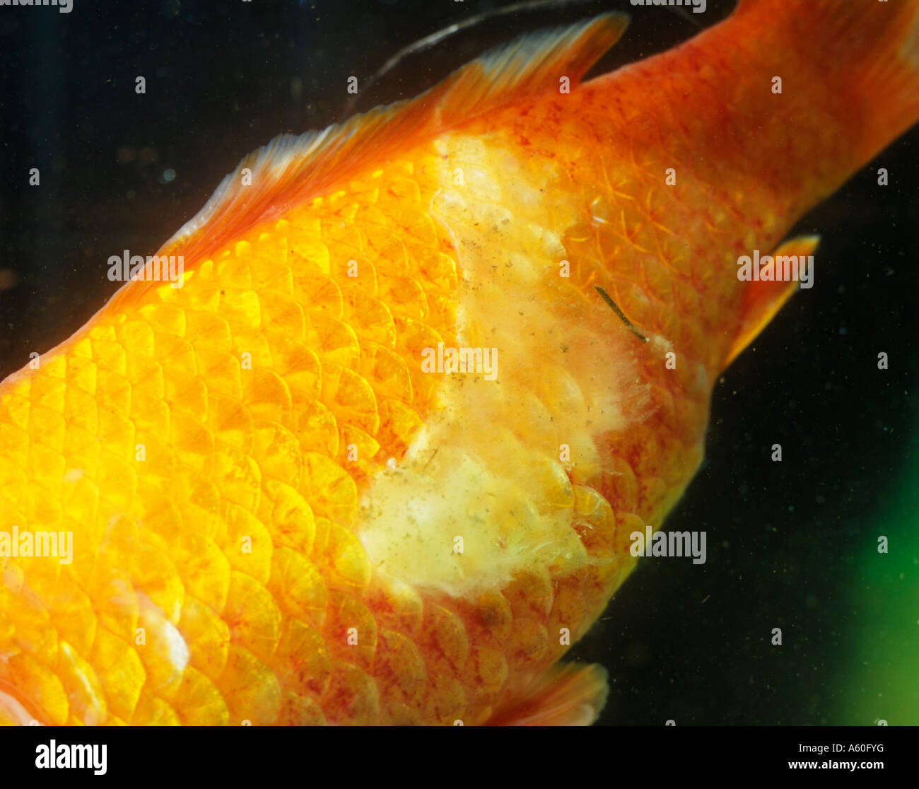 Fish diseases goldfish with fungal attack stock photo for Fungus on fish