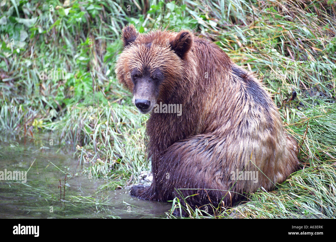 Grizzly bear sitting up - photo#42