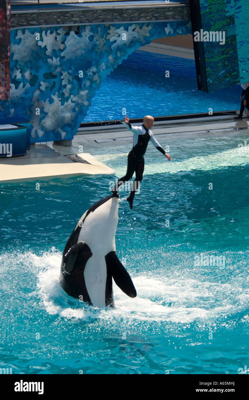Killer Whale orcinus orca jumping out of water while ...