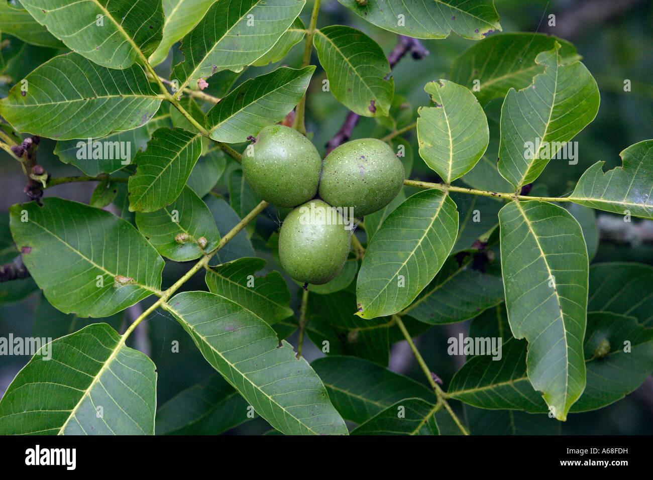 common walnut english walnut persian walnut juglans. Black Bedroom Furniture Sets. Home Design Ideas