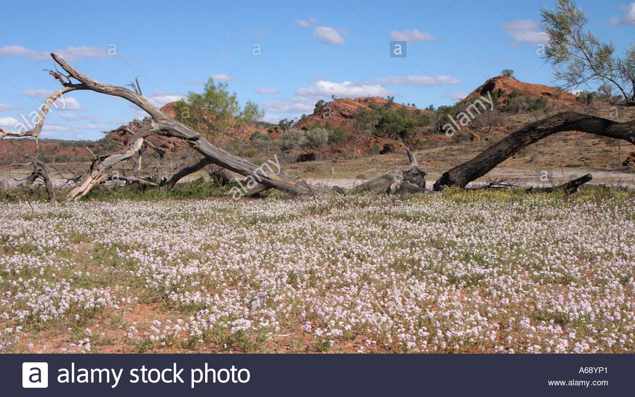 Dead Tree In A Field With Wild Flowers And Red Rock Formations Mutawintji National Park Outback New South Wales Australia