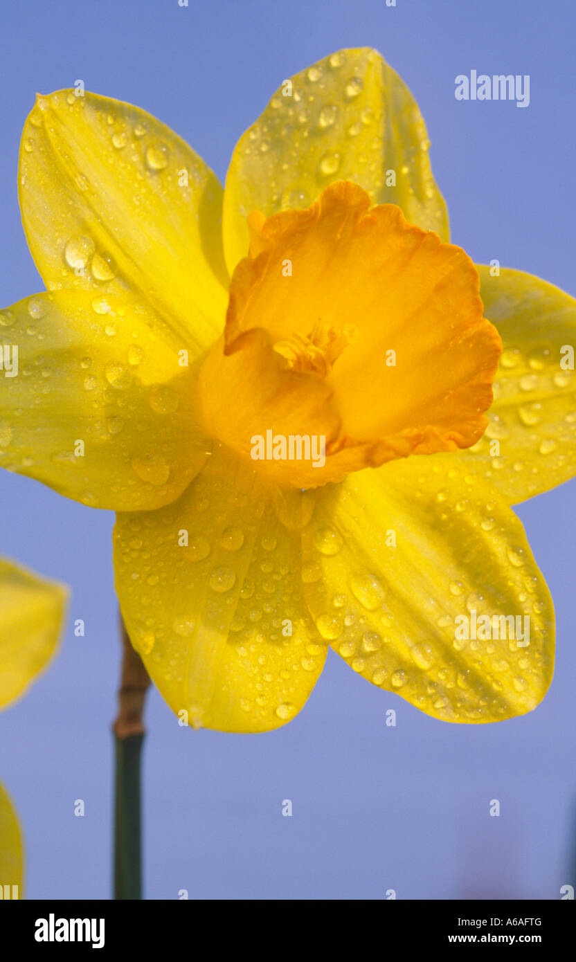 Rain drops on the national emblem symbol of Wales the ...