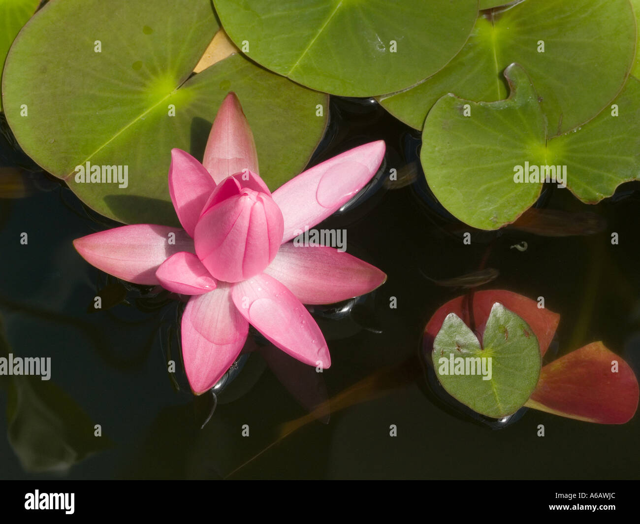 Partly opened deep pink water lily flower and lily pad nymphaea sub partly opened deep pink water lily flower and lily pad nymphaea sub tropical aquatic plant izmirmasajfo Images