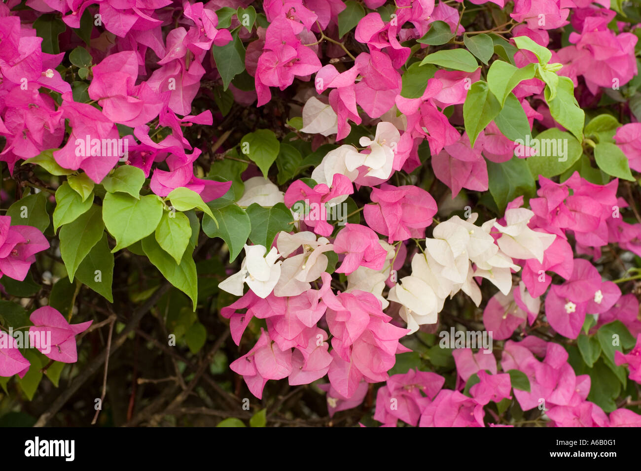 Purple and white flowers of the south american woody shrub stock purple and white flowers of the south american woody shrub bougainvillaea now a common garden plant in kenya dhlflorist Choice Image