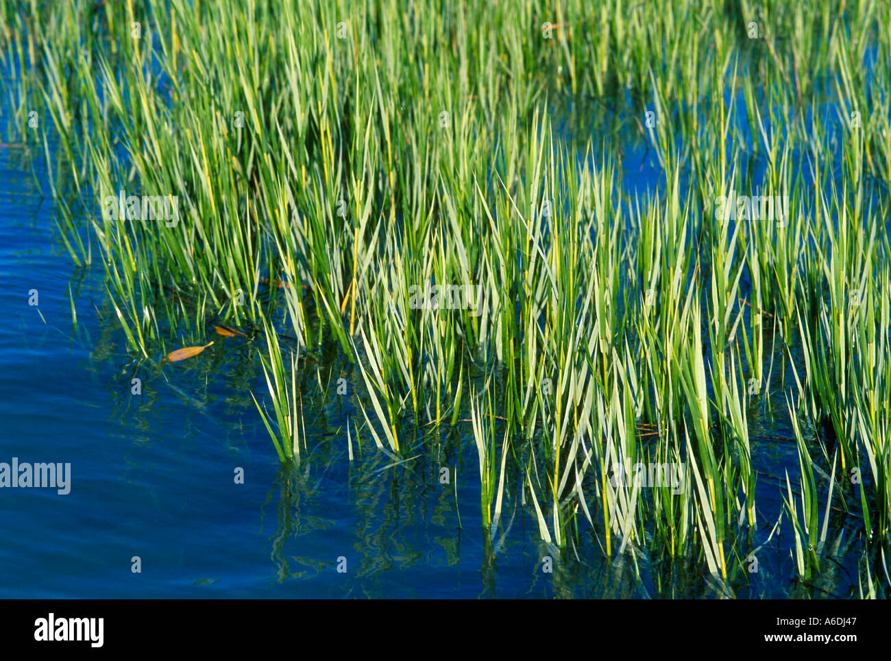 saltmarsh cordgrass spartina alterniflora martin county