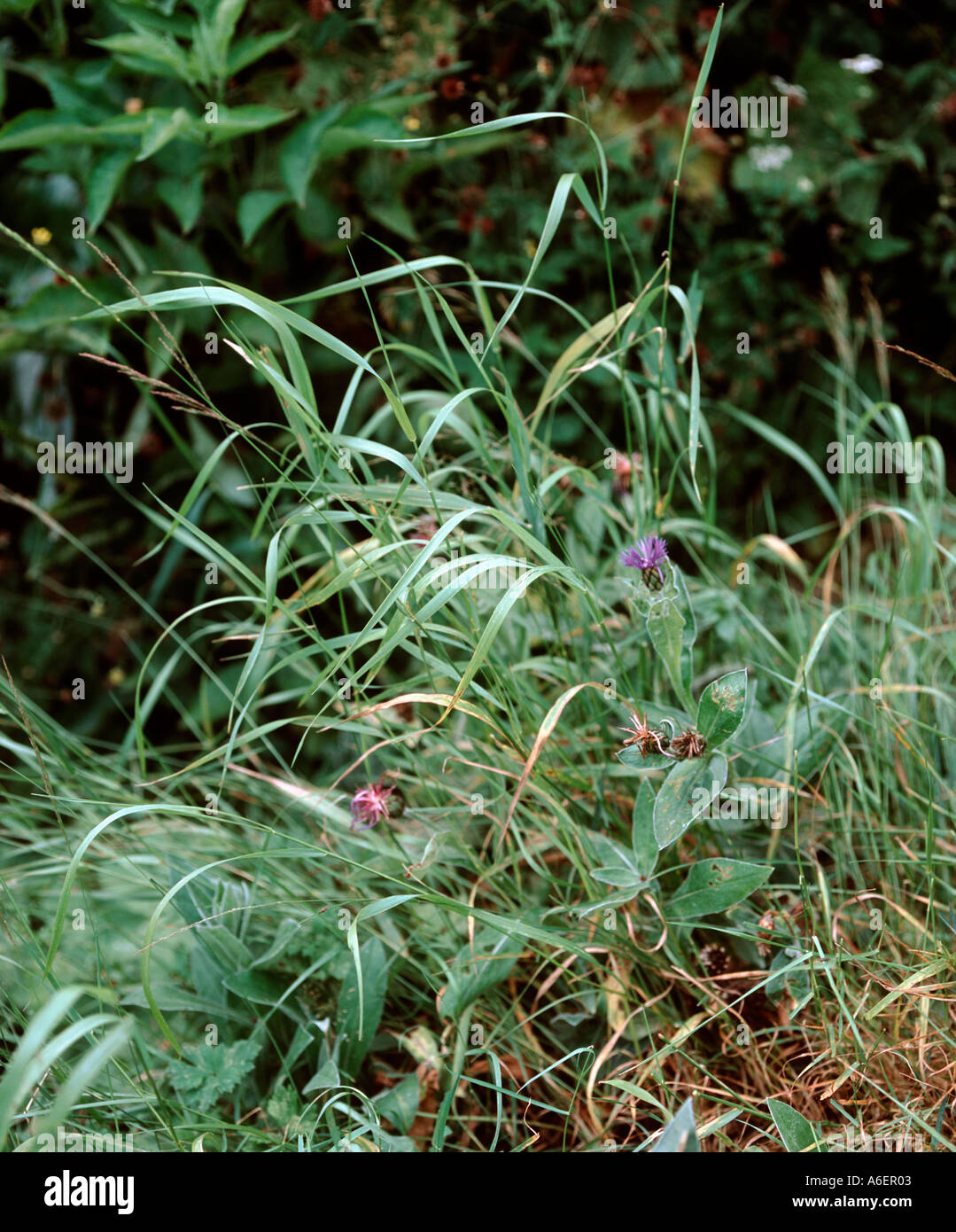 Grass Couch Couch Twitch Grass Agropyron In Stock Photos Couch Twitch Grass