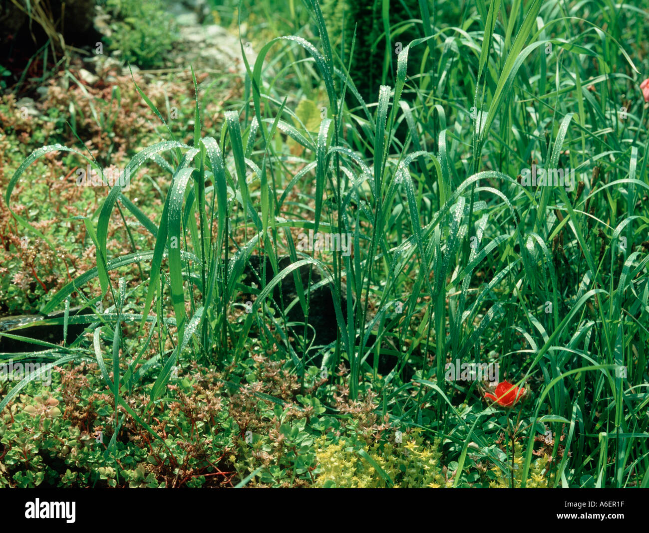 Grass Couch Couch Agropyron Repens As A Grass Weed In Garden Rockery Stock