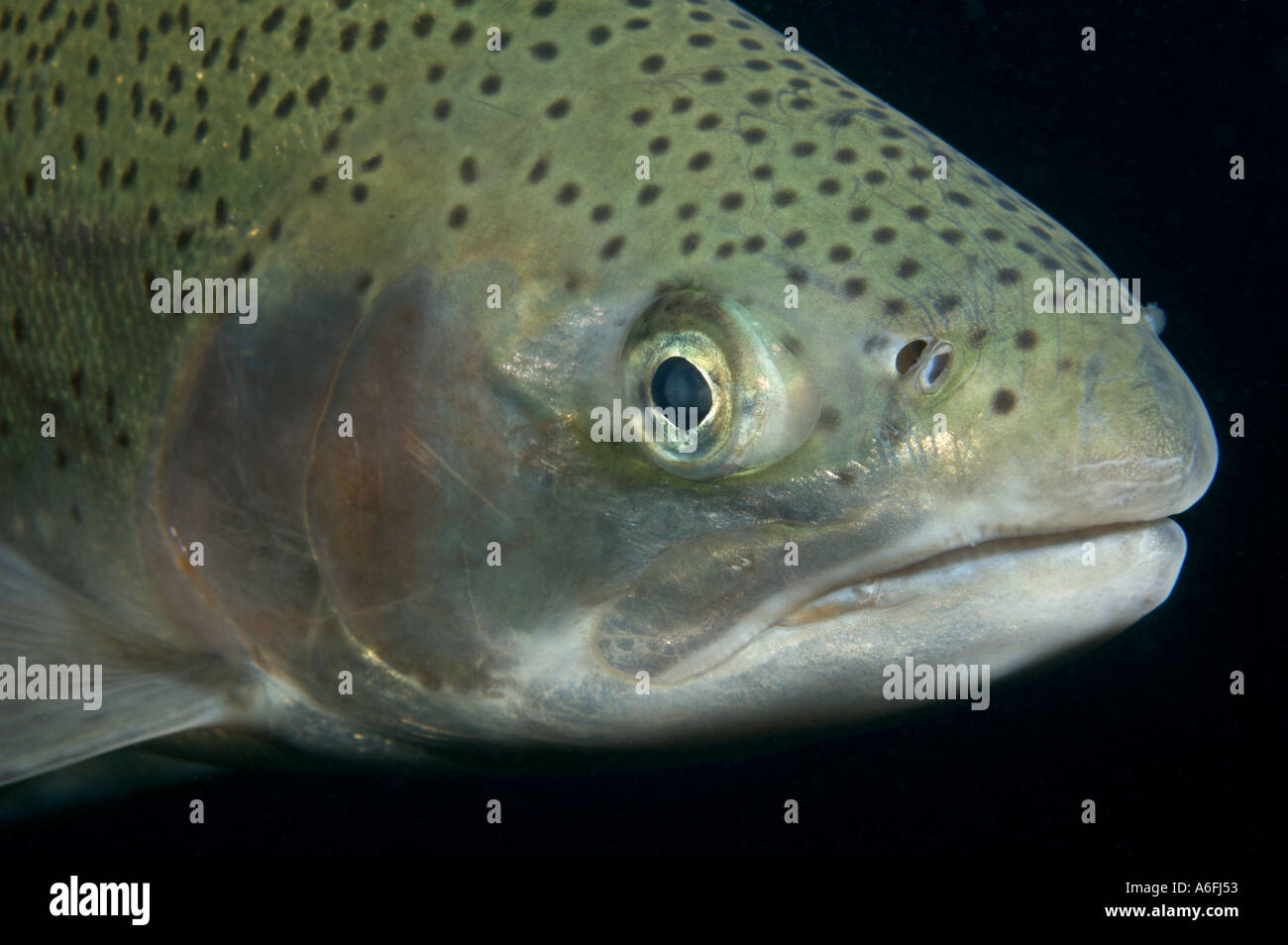 rainbow trout head against black background stock photo