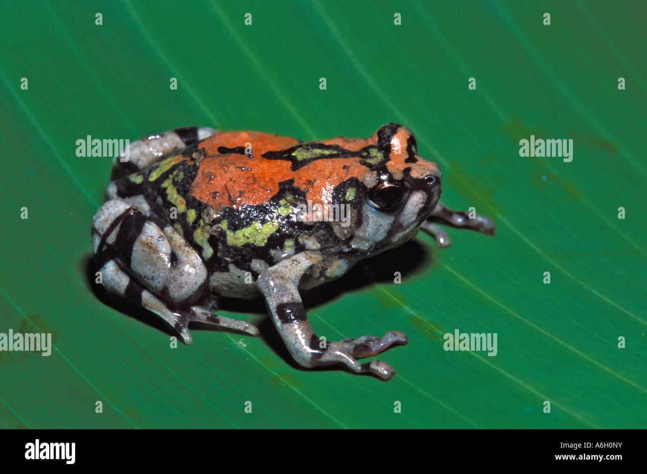 rainbow frog rainbow burrowing frog scaphiophryne gottlebei stock