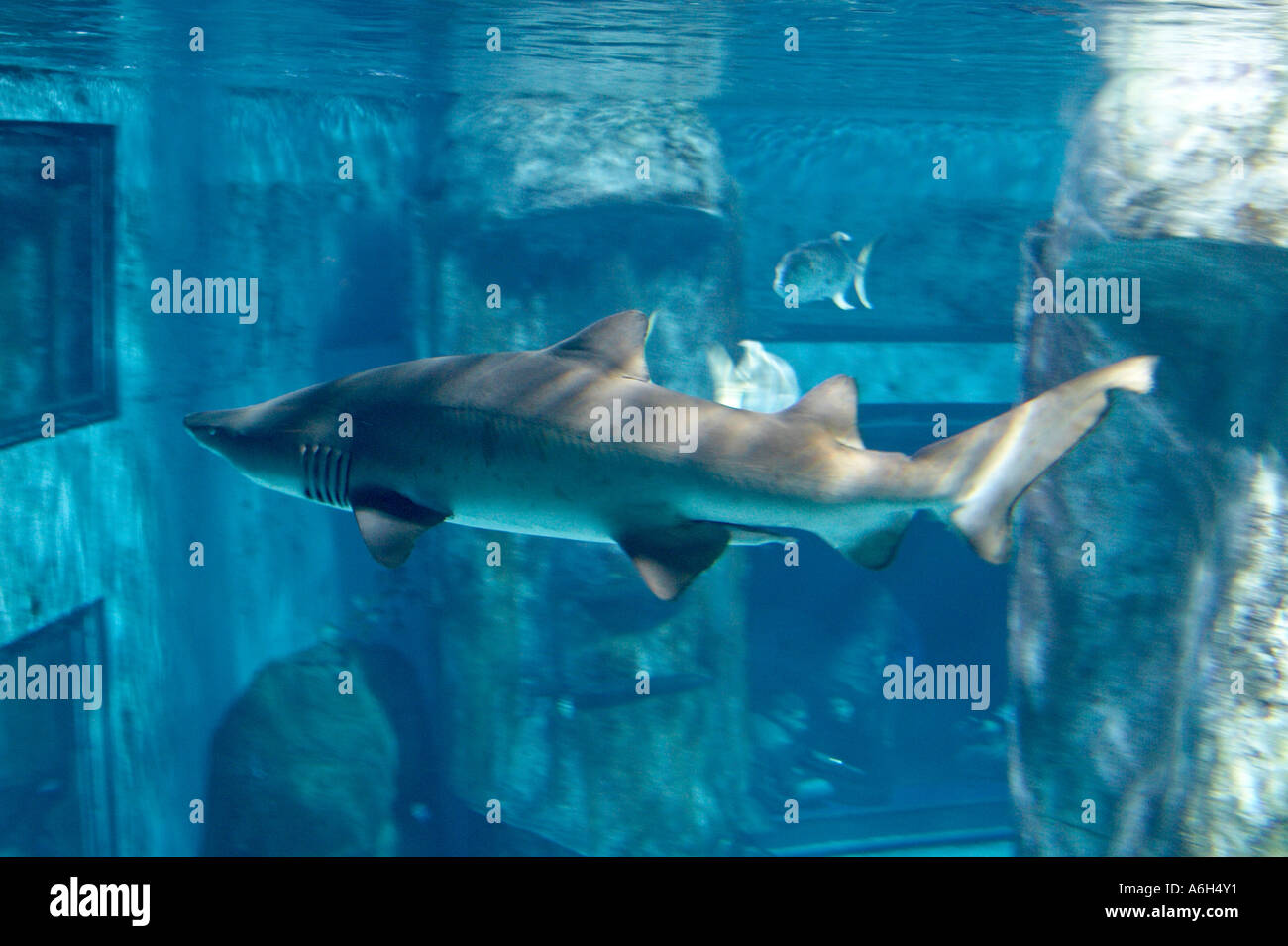 Fish in tank swimming - Sand Tiger Shark Odontaspis Taurus Fish Swimming In Tank In London Aquarium London Se1 England Uk