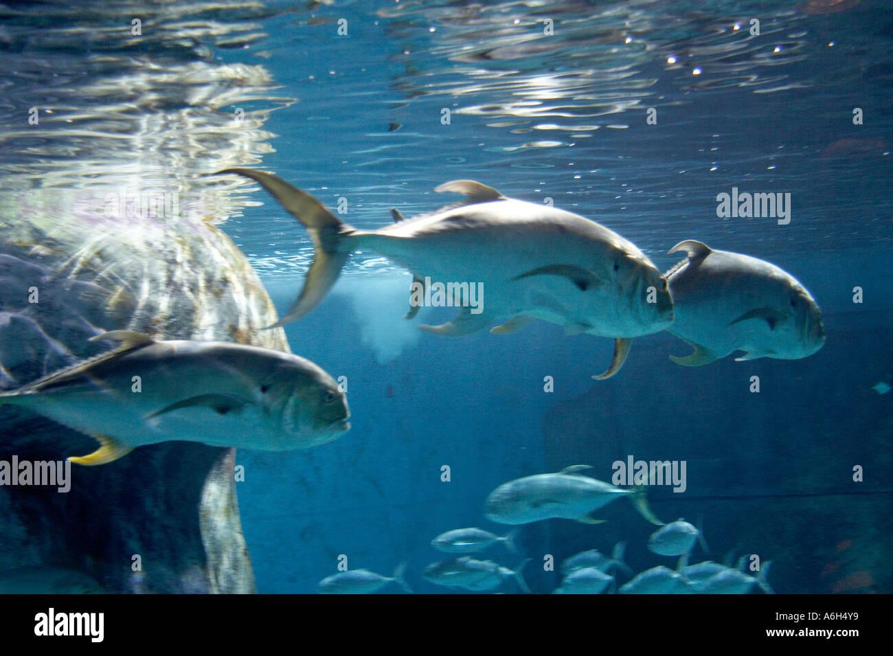 Buy fish for aquarium london - Giant Trevally Caranx Ignobilis Fish Swimming In Tank In London Aquarium London Se1 England Uk