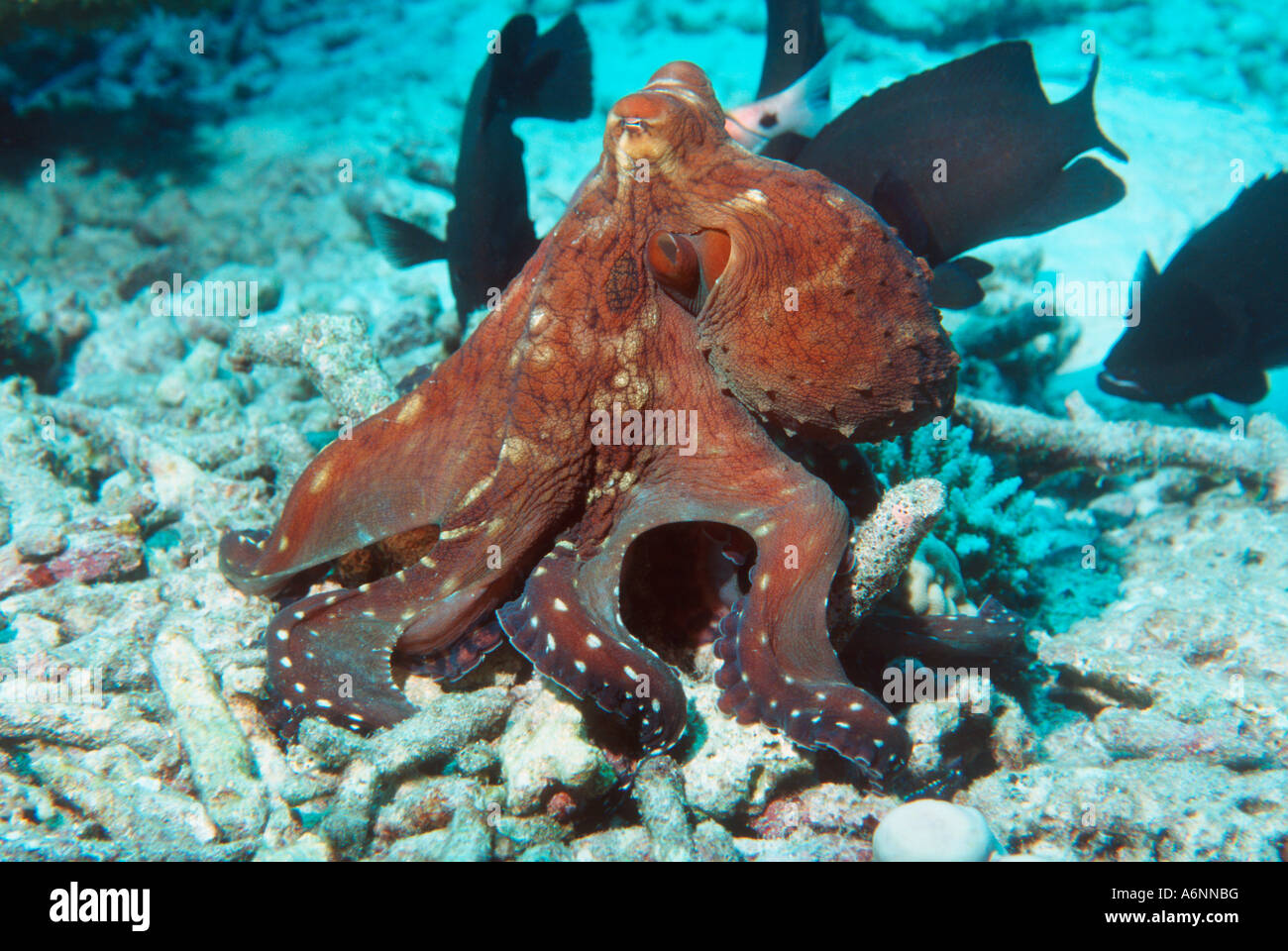 Day octopus hunting on coral rubble Andaman Sea Thailand ...