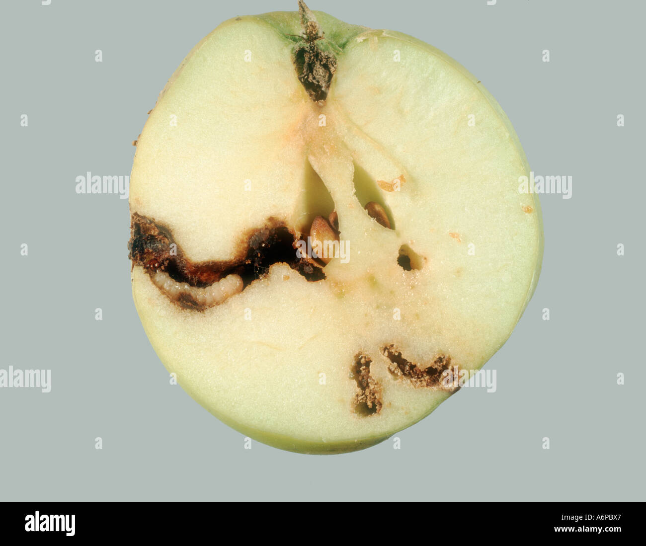 in addition Stock Photo Codling Moth Cydia Pomonella Caterpillar In Gallery In Apple Fruit 6643430 additionally Solution moreover Elan Organic F1 Strawberry Plugs 3969G moreover Project view. on produce id