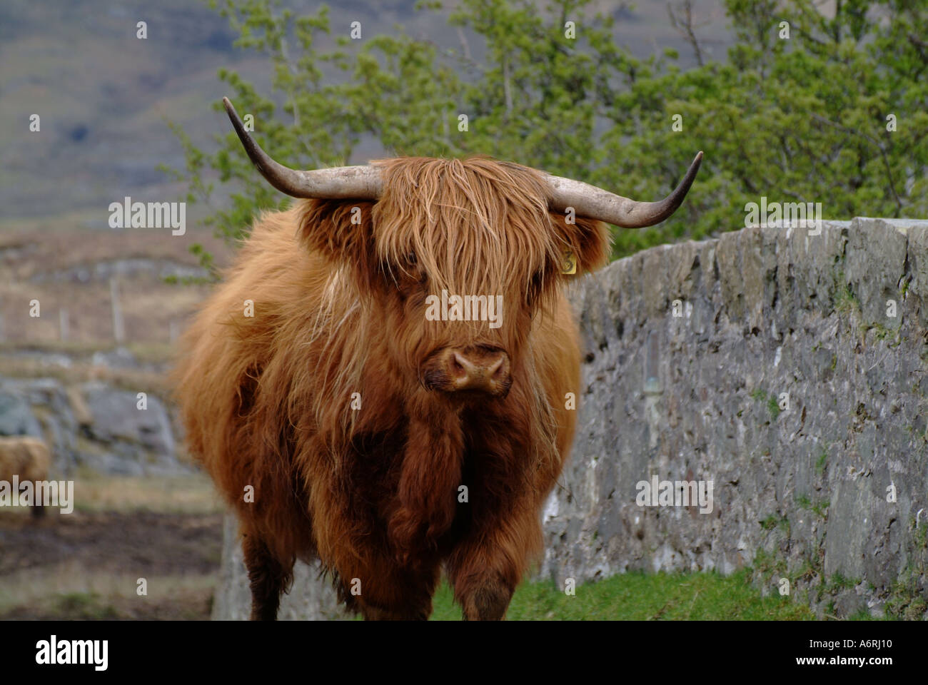 hairy cow woolly highland cattle aberdeen angus isle of mull inner