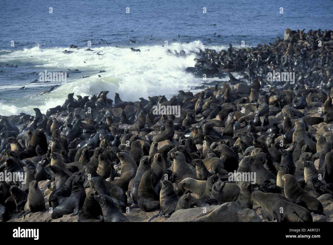 africa namibia cape cross seal reserve crowded colony of southern stock photo royalty free. Black Bedroom Furniture Sets. Home Design Ideas