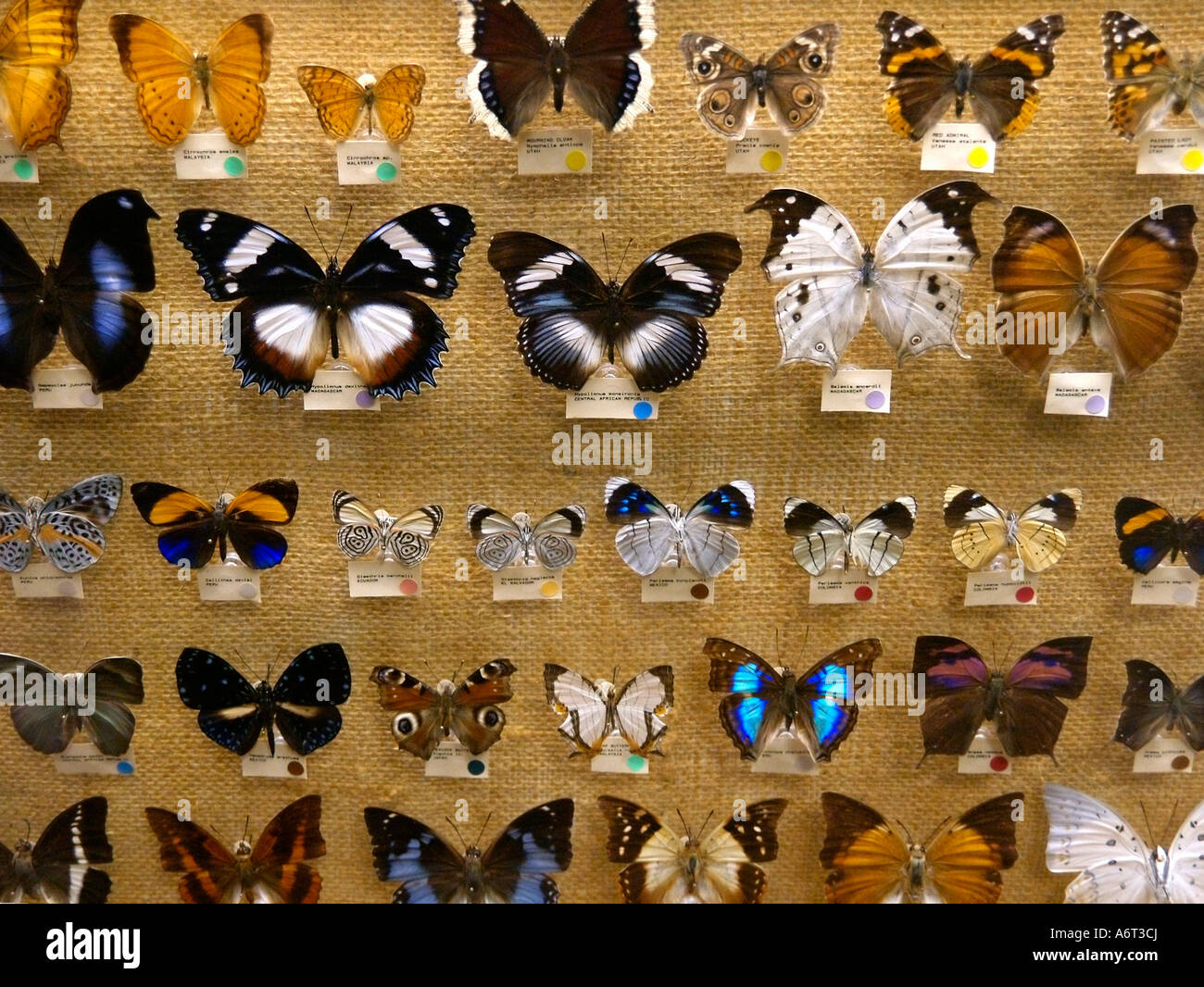 rows of preserved brilliantly colored butterflies mounted in a