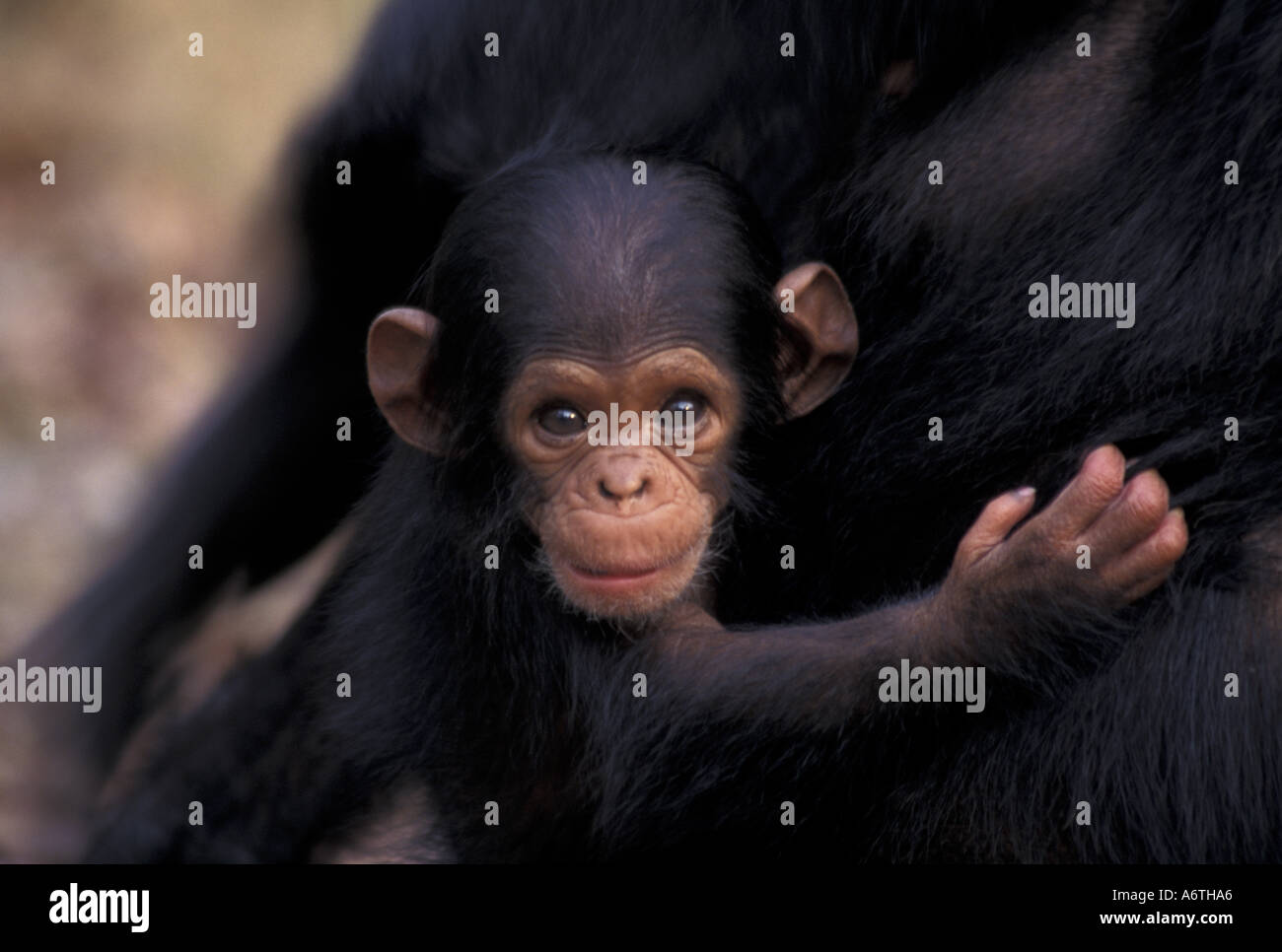 gombe chimpanzee flirt In the dense forests of gombe, in the tanzanian jungle, researchers are continuing the work of jane goodall to learn the ways of a famous group of chimps.