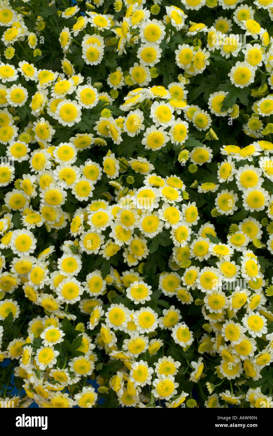 Lots of tiny white flowers blooming in the grass stock photo pink geranium chrysanthemum sun up tiny yellow and white flowers stock photo dhlflorist Image collections