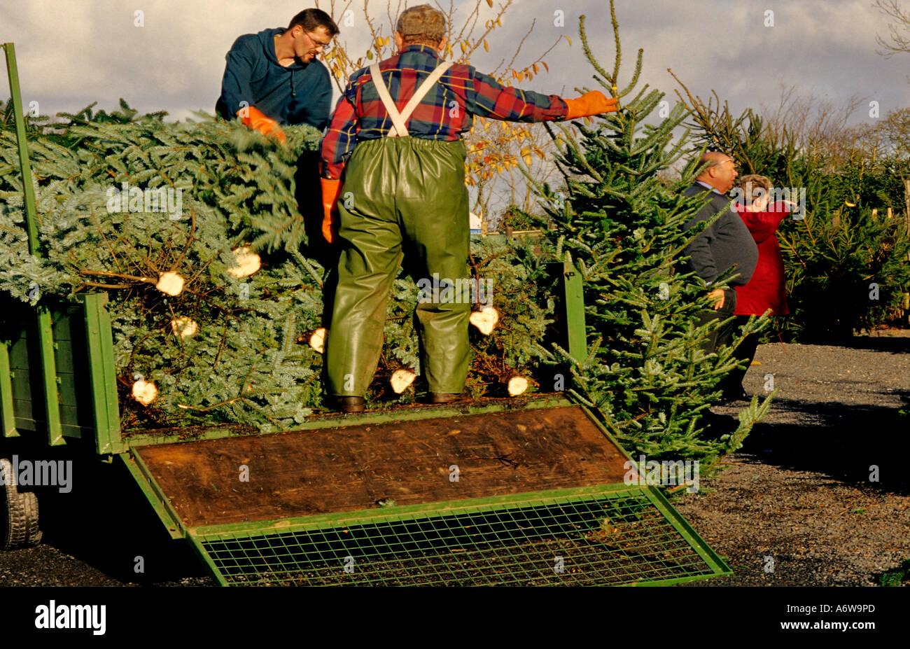 LOADING CHRISTMAS TREES ONTO A LORRY AT MARLDON CHRISTMAS TREE ...