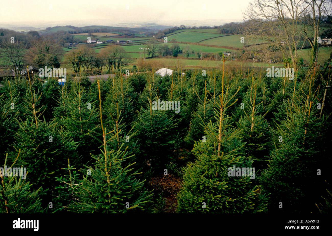 CHRISTMAS TREE PLANTATION AT MARLDON CHRISTMAS TREE FARM, PAIGNTON ...