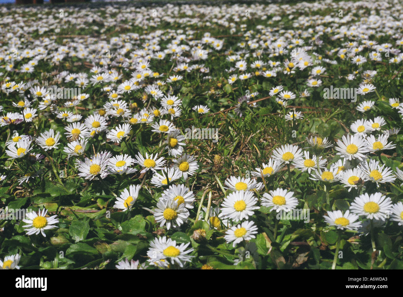 Tiny white flowers and grass close up stock photo royalty free stock photo tiny white flowers and grass close up dhlflorist Image collections