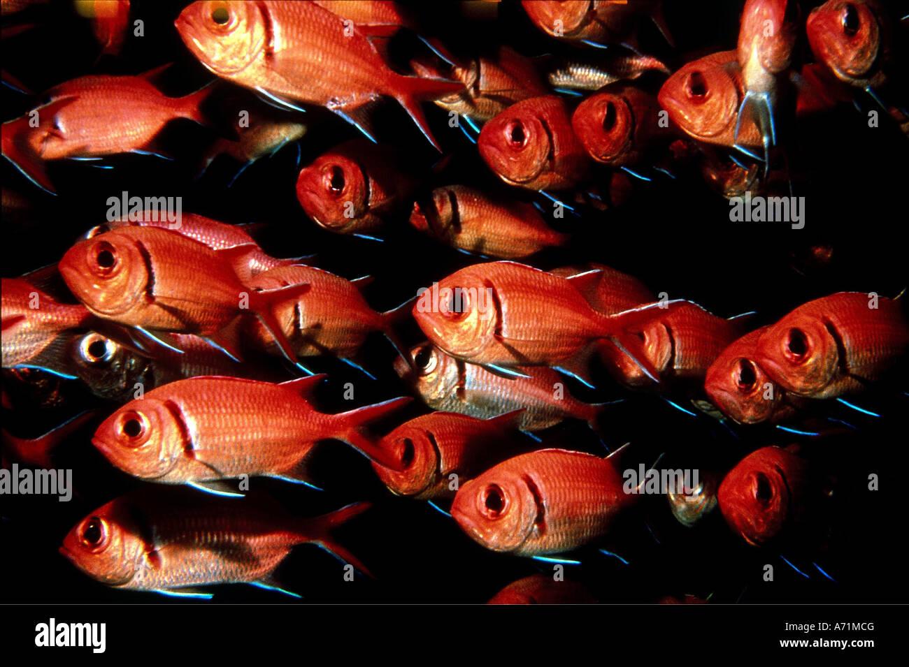 zoology animals fish blackbar soldierfish myripristis