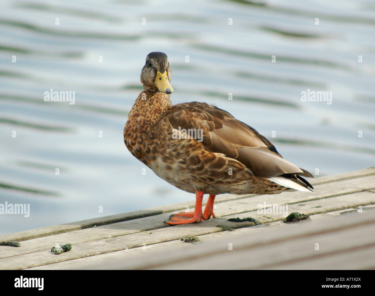 a young male mallard duck anas platyrhynchos looking into the