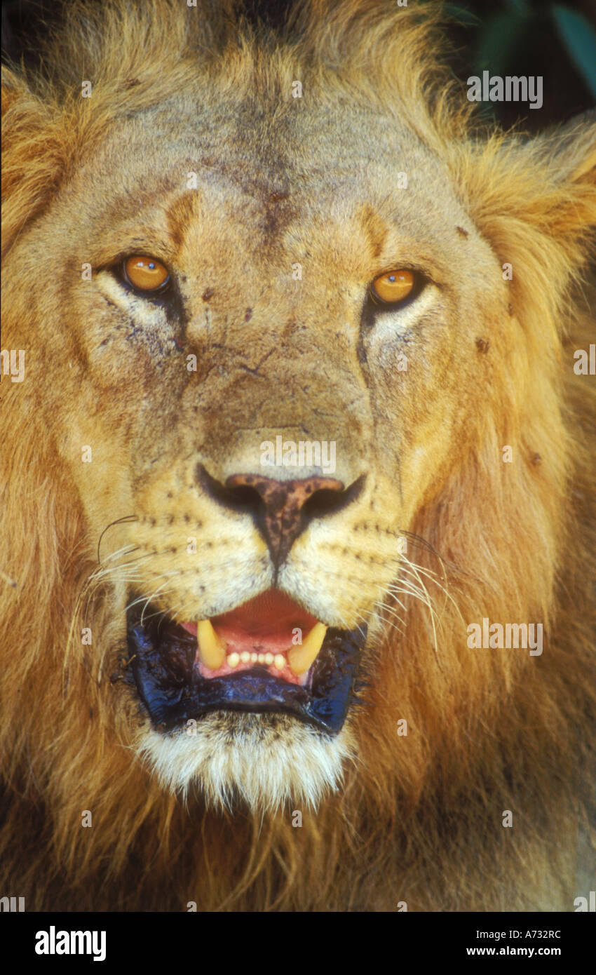 Male Lion face in close up Stock Photo: 6690043 - Alamy