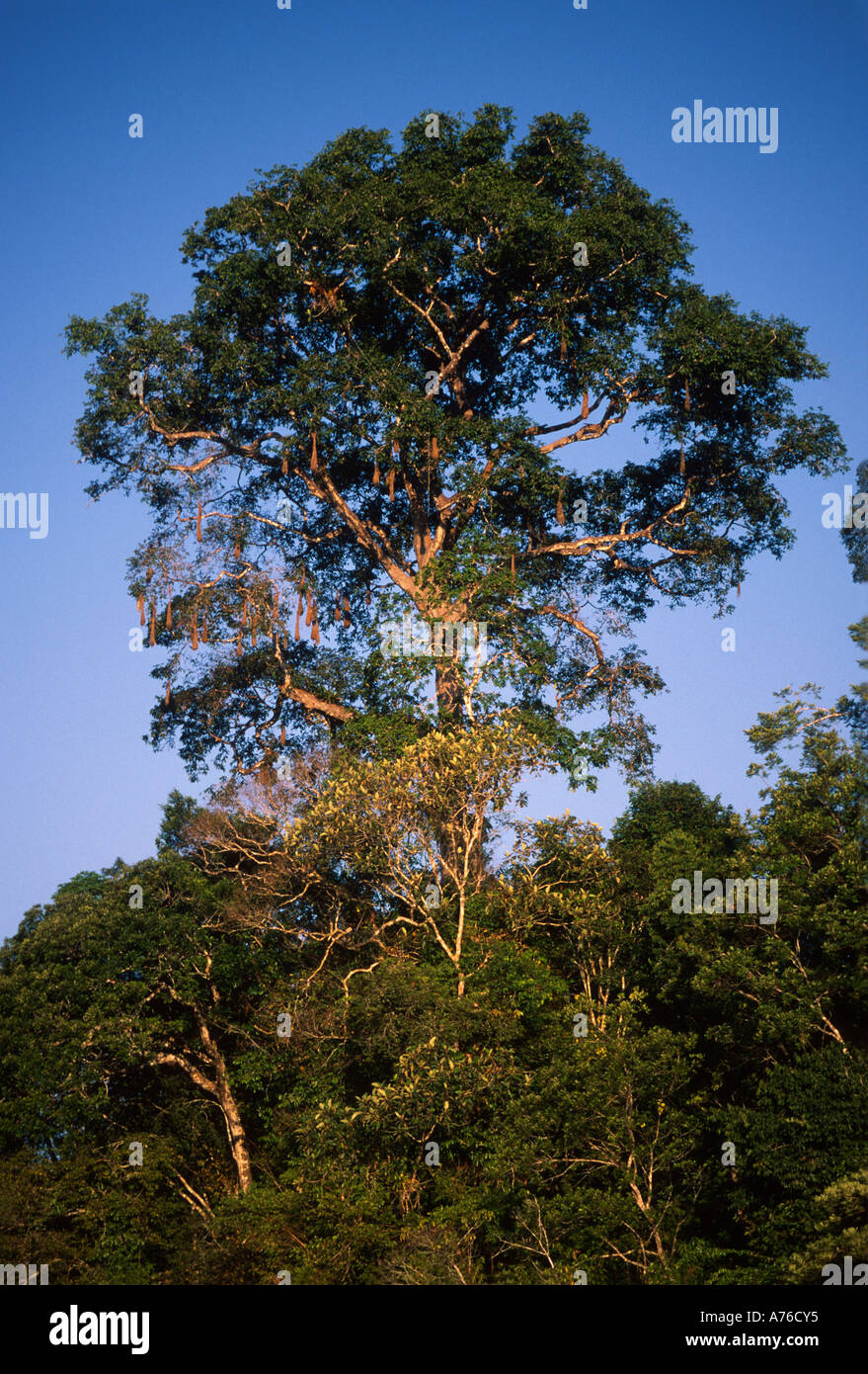 Emergent tree rising above the rainforest canopy layer Amazon Basin & Emergent tree rising above the rainforest canopy layer Amazon ...