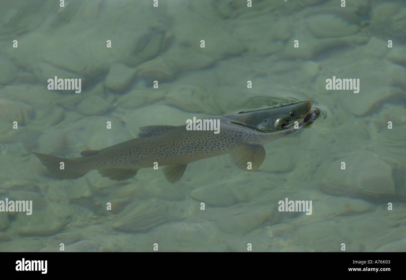 Brown trout rising for a fly fly fishing on the clutha for Rising fly fishing