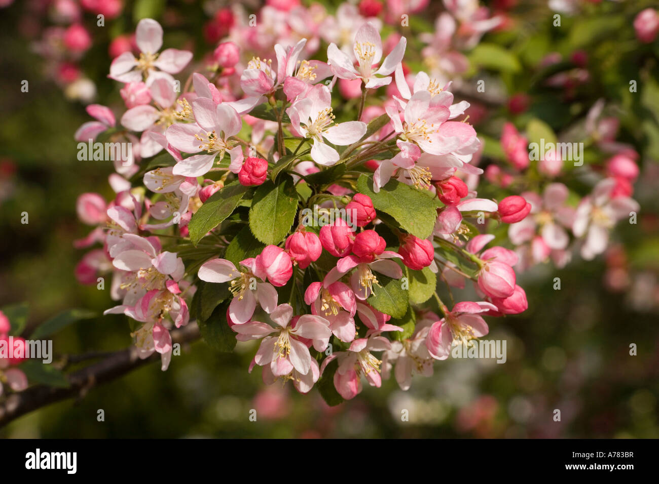 garden plants springtime japanese crab tree malus floribunda in stock photo royalty free image. Black Bedroom Furniture Sets. Home Design Ideas