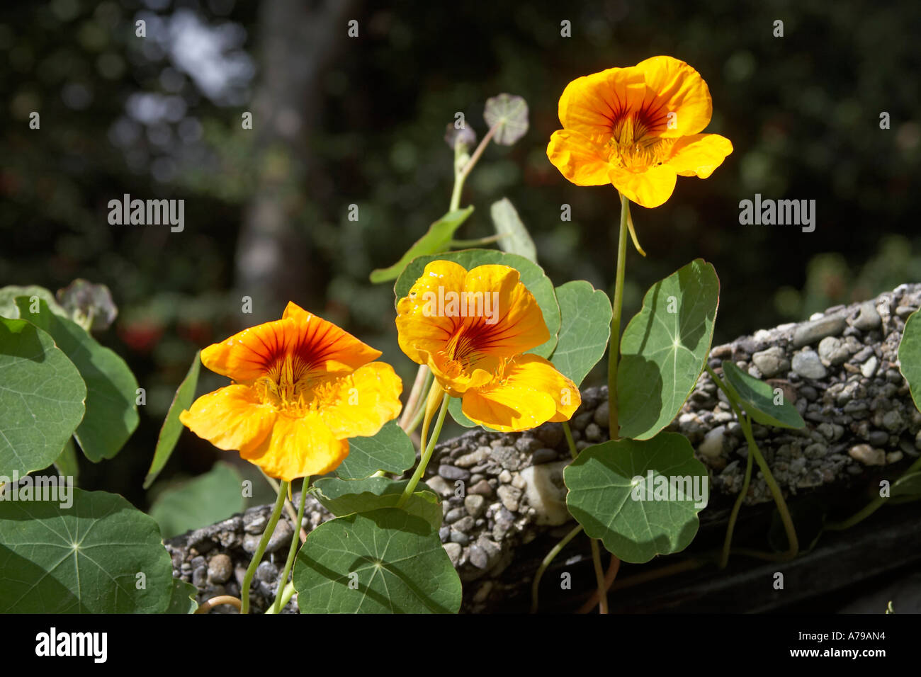 Yellow nasturtium flowers and leaves in county cork ireland or eire yellow nasturtium flowers and leaves in county cork ireland or eire mightylinksfo Images