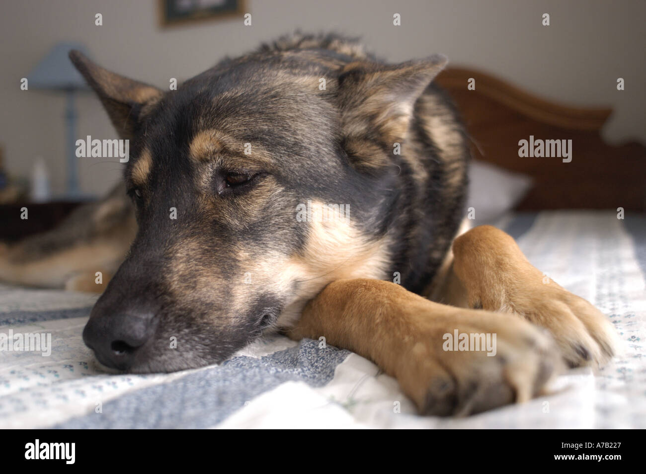 Norwegian Elkhound Mixed With German Shepherd