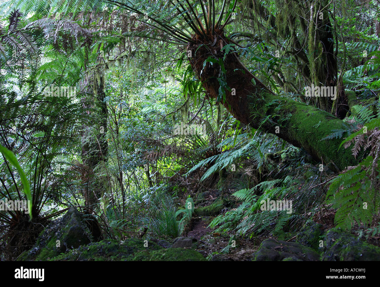 ferns treeferns and other plants under the canopy of the oxley world heritage rainforest & ferns treeferns and other plants under the canopy of the oxley ...